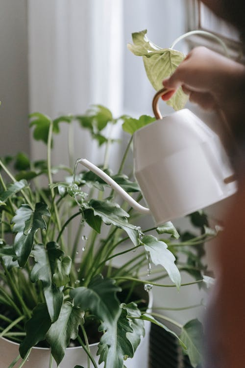Crop unrecognizable person pouring water from watering can into flowerpot with green plant in light room with curtain at home