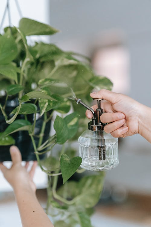 Woman spraying green leaves of houseplant