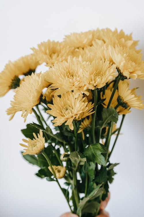 Blooming yellow flowers with tender petals on thin stalks with curved green leaves on white background