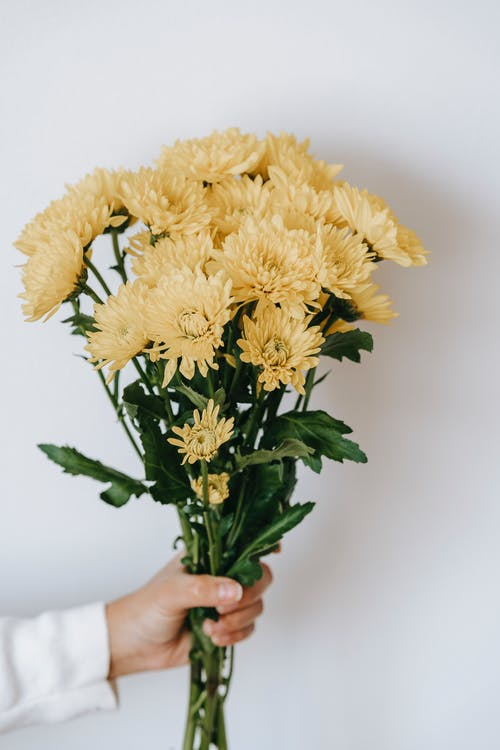 Faceless person showing blossoming Chrysanthemums with pleasant scent