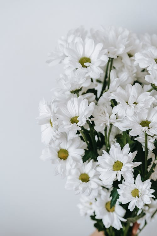 Blossoming Chrysanthemums with delicate petals and pleasant scent