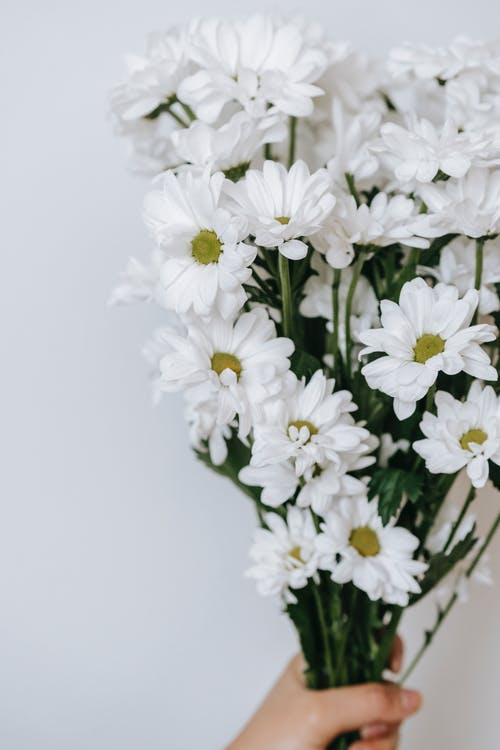 Faceless person demonstrating blossoming flowers with tender curved petals on thin stems on white background