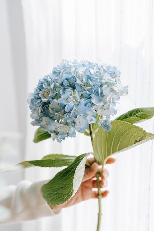 Безкоштовне стокове фото на тему «hortensia, Анонімний, аромат»