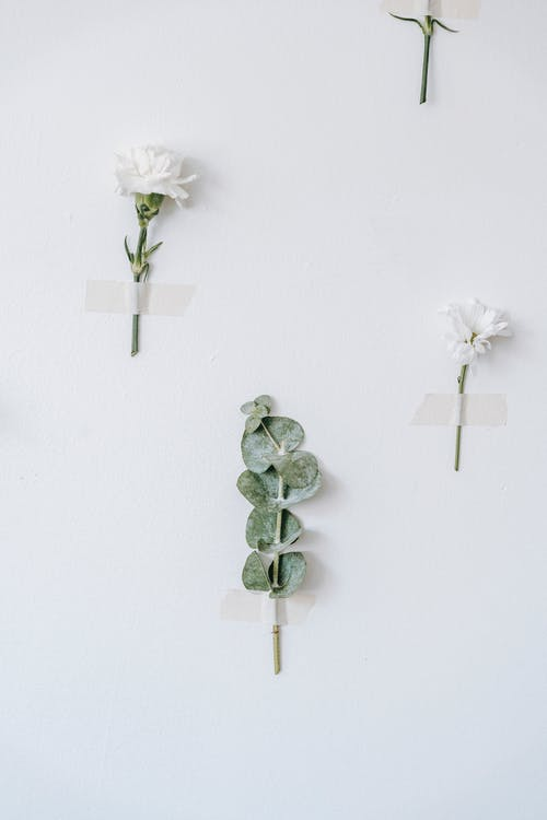 Eucalyptus plant sprig between blossoming white Chrysanthemum and carnation with sticky strips on white background