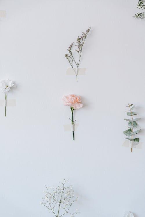 คลังภาพถ่ายฟรี ของ angiosperms, asterids, caryophyllaceae