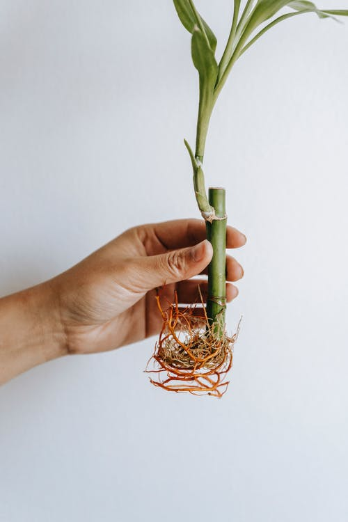 Crop unrecognizable horticulturist demonstrating Dracaena plant with thick stems and curved roots on white background