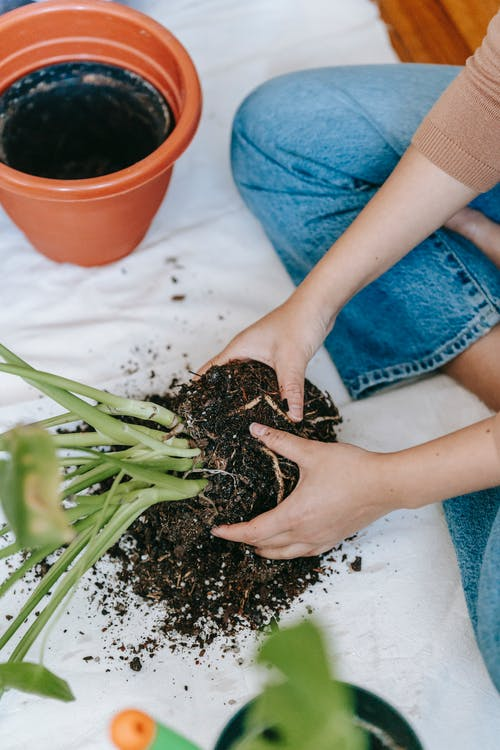 Woman transplanting plant in pot at home