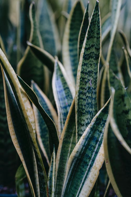 Snake plant with ornamental leaves in house
