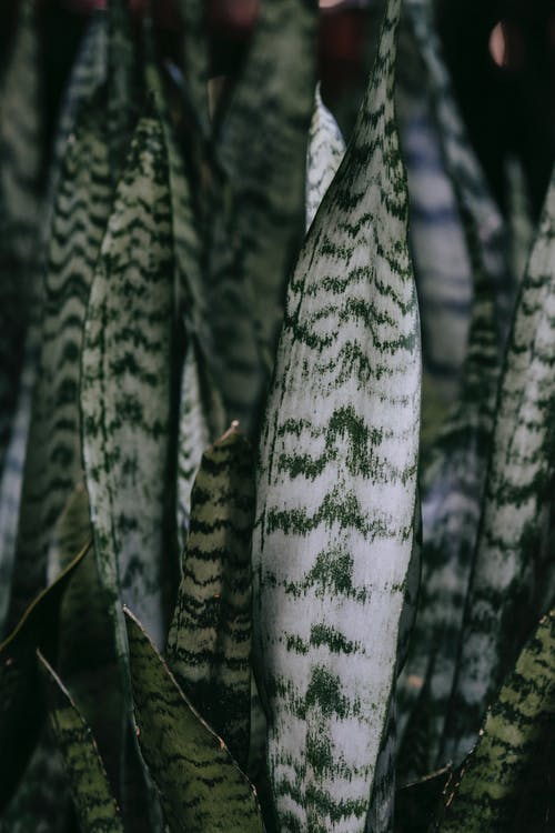 Sansevieria with ornament on wavy foliage with spiky edges growing at home on blurred background