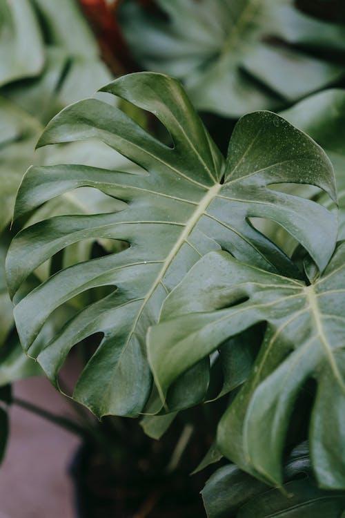Kostenloses Stock Foto zu angiospermen, araceae, blatt
