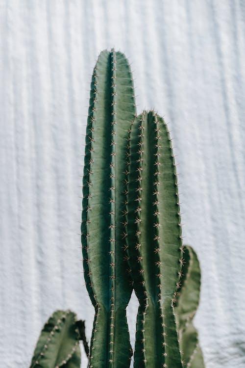 不均勻的, 仙人掌, 仙人掌科 的 免費圖庫相片