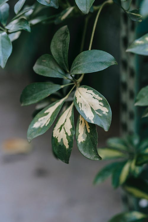 Schefflera with lush leaves on thin stalk at home