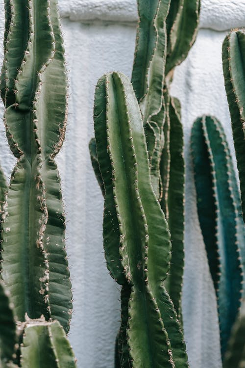 Green cactuses growing near white wall