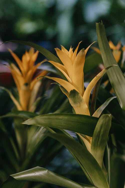 Blooming Guzmania against blurred background in daytime