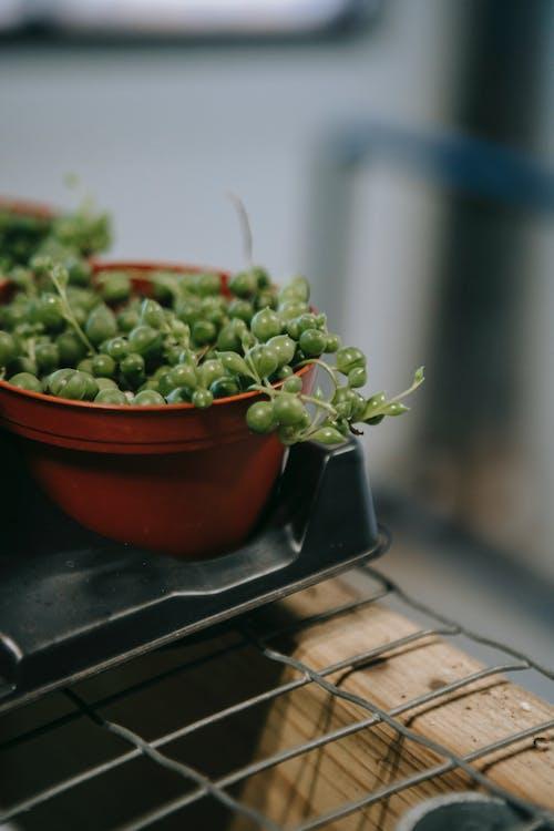 Curio rowleyanus plant in small pot