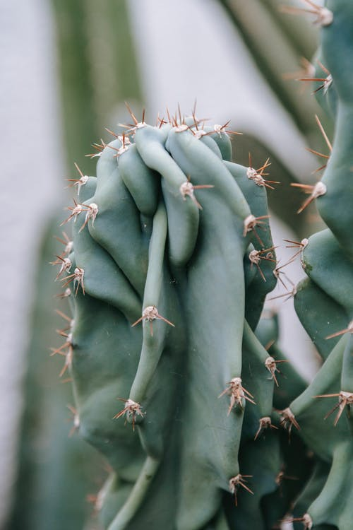 Closeup of green Peruvian apple cactus with cylindrical shape and sharp prickles growing in greenhouse in daylight