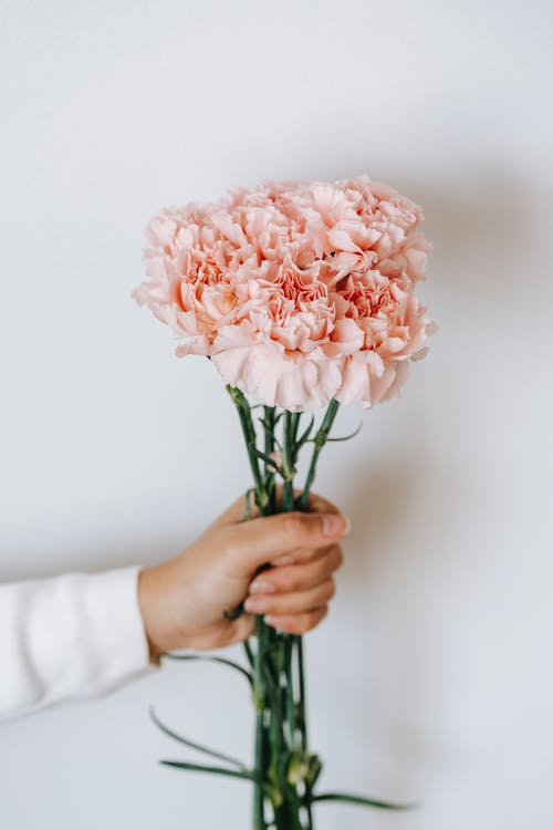 Bouquet of pink carnations against white background