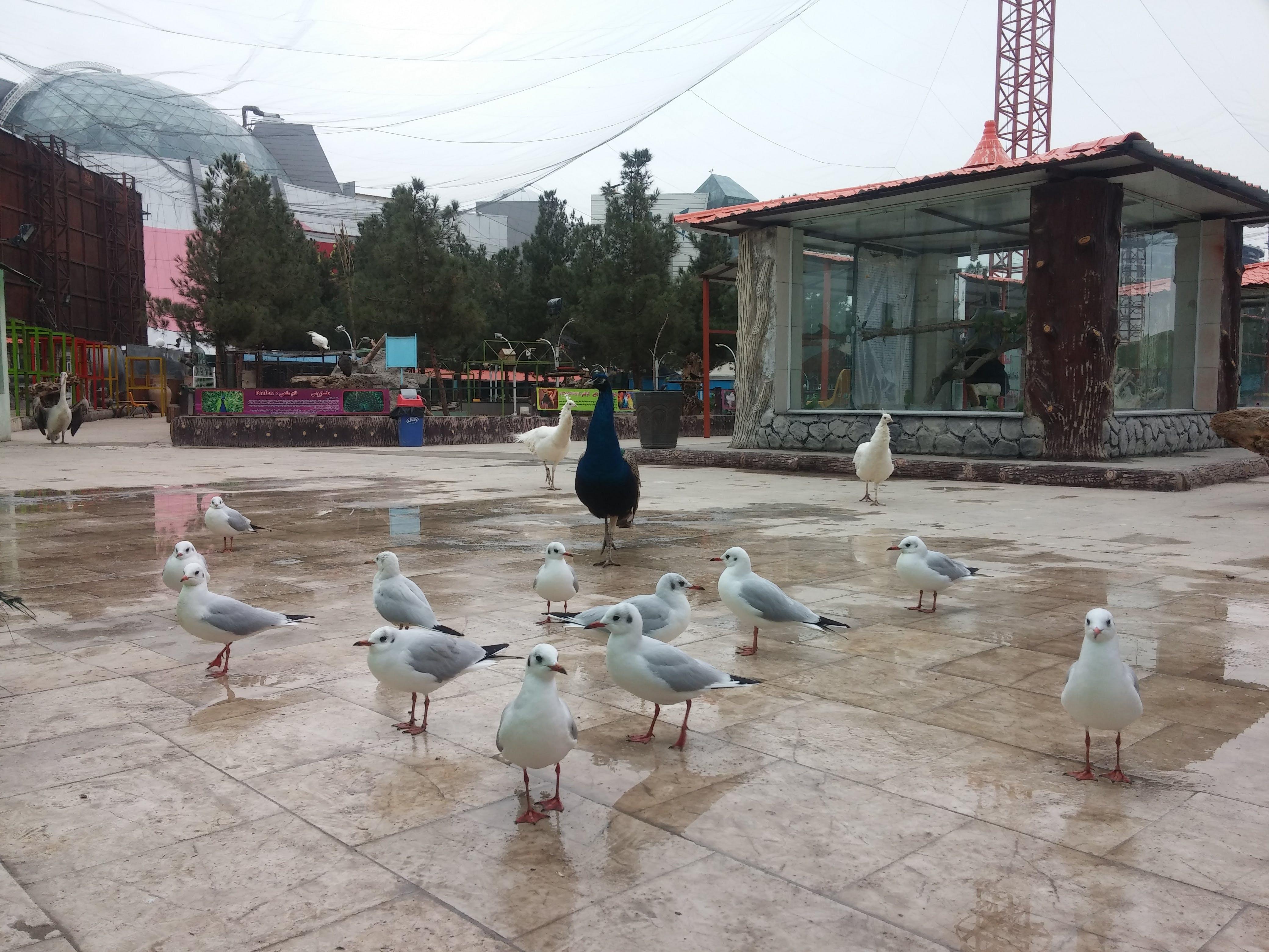 Free stock photo of birds, peafowl, seagull