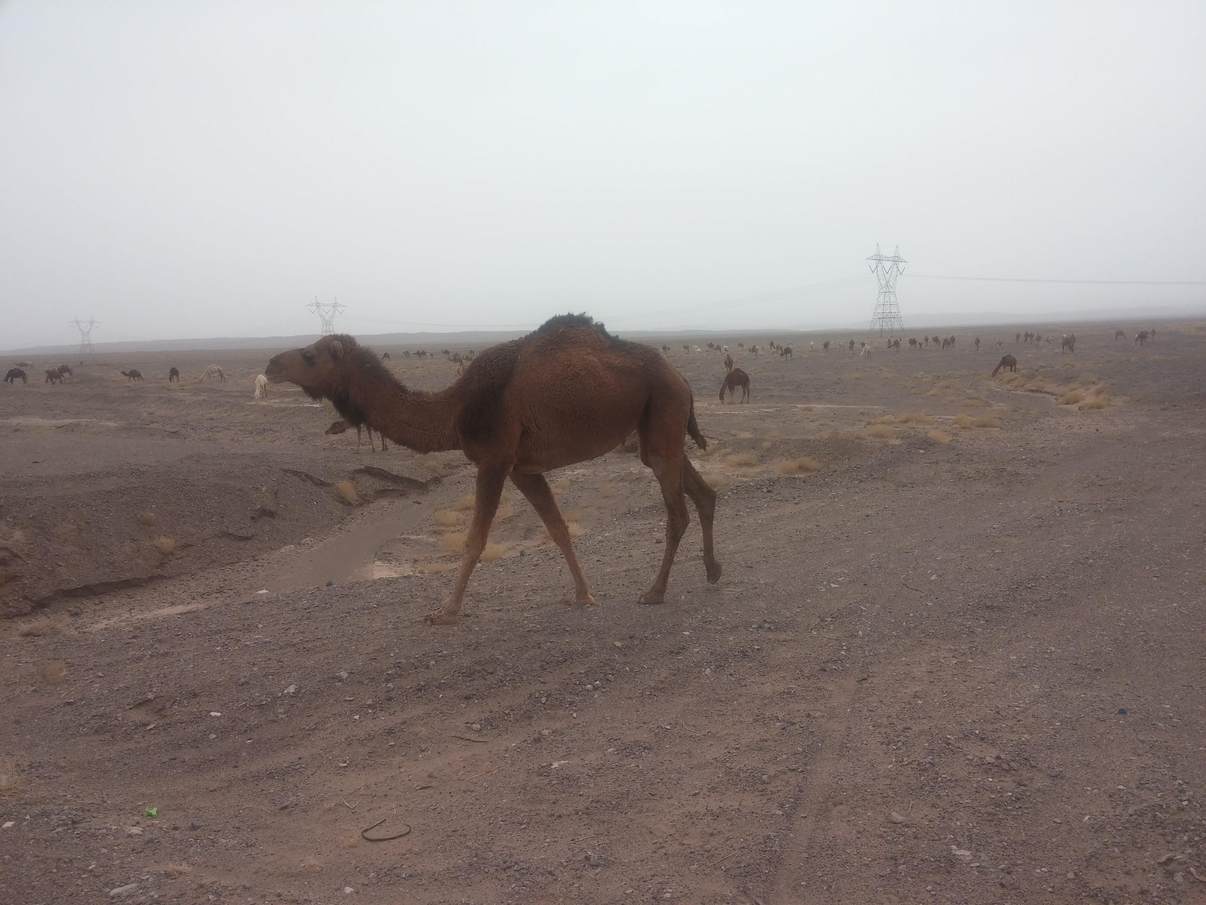 Foto d'estoc gratuïta de camell, camells