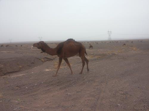 낙타의 무료 스톡 사진