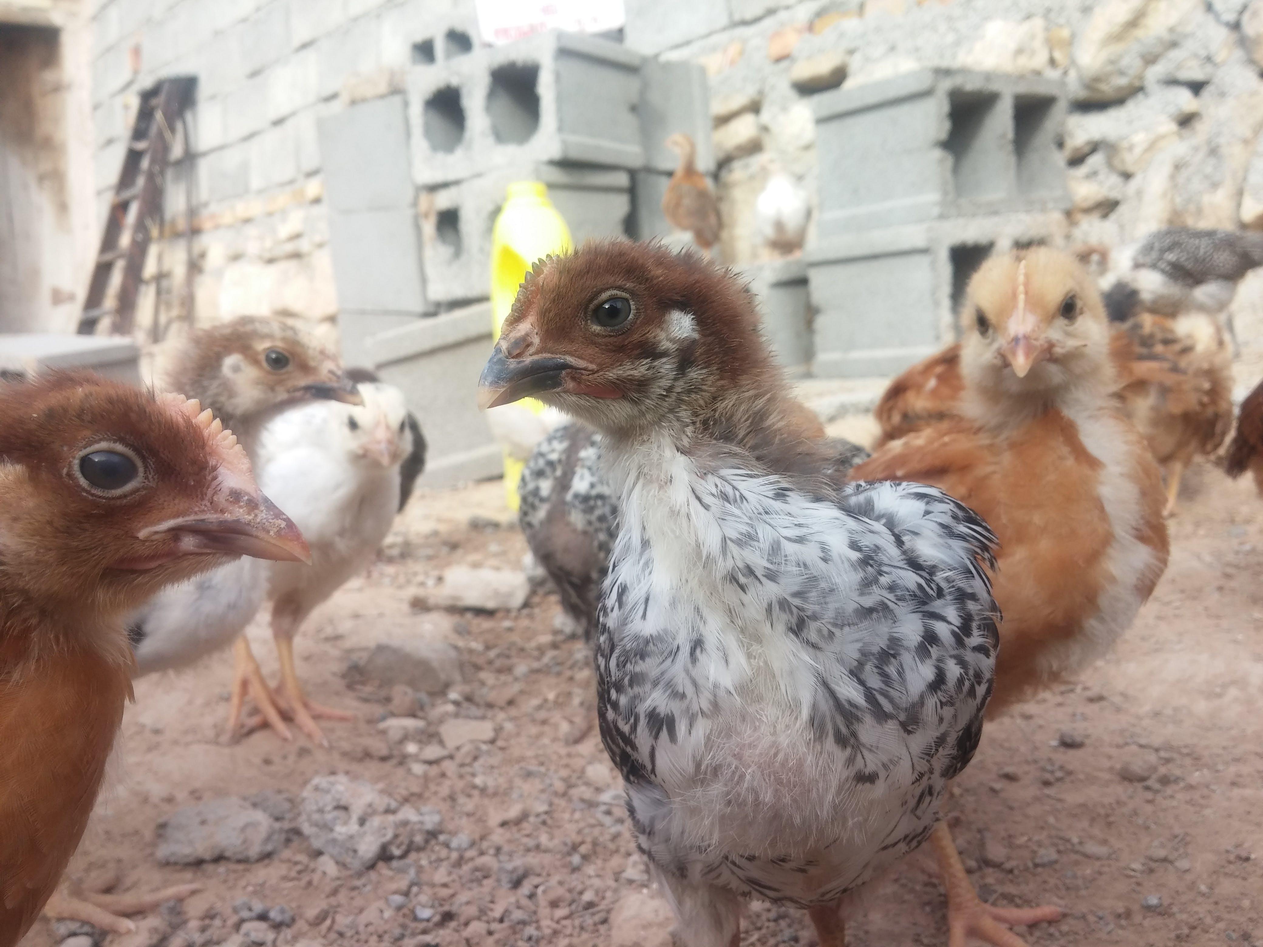 Foto d'estoc gratuïta de pollastre nadó