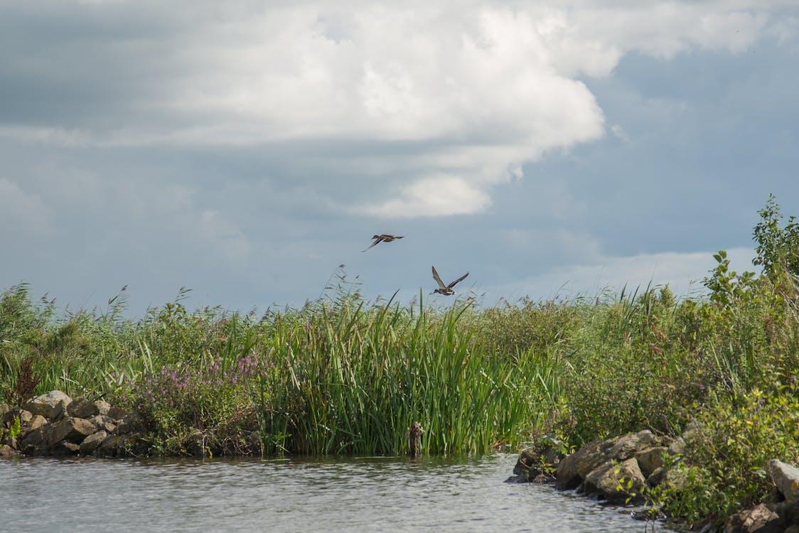Free stock photo of cloud, ducks, fauna