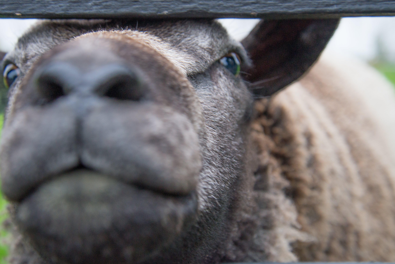 Free stock photo of animal, close, farm, fauna