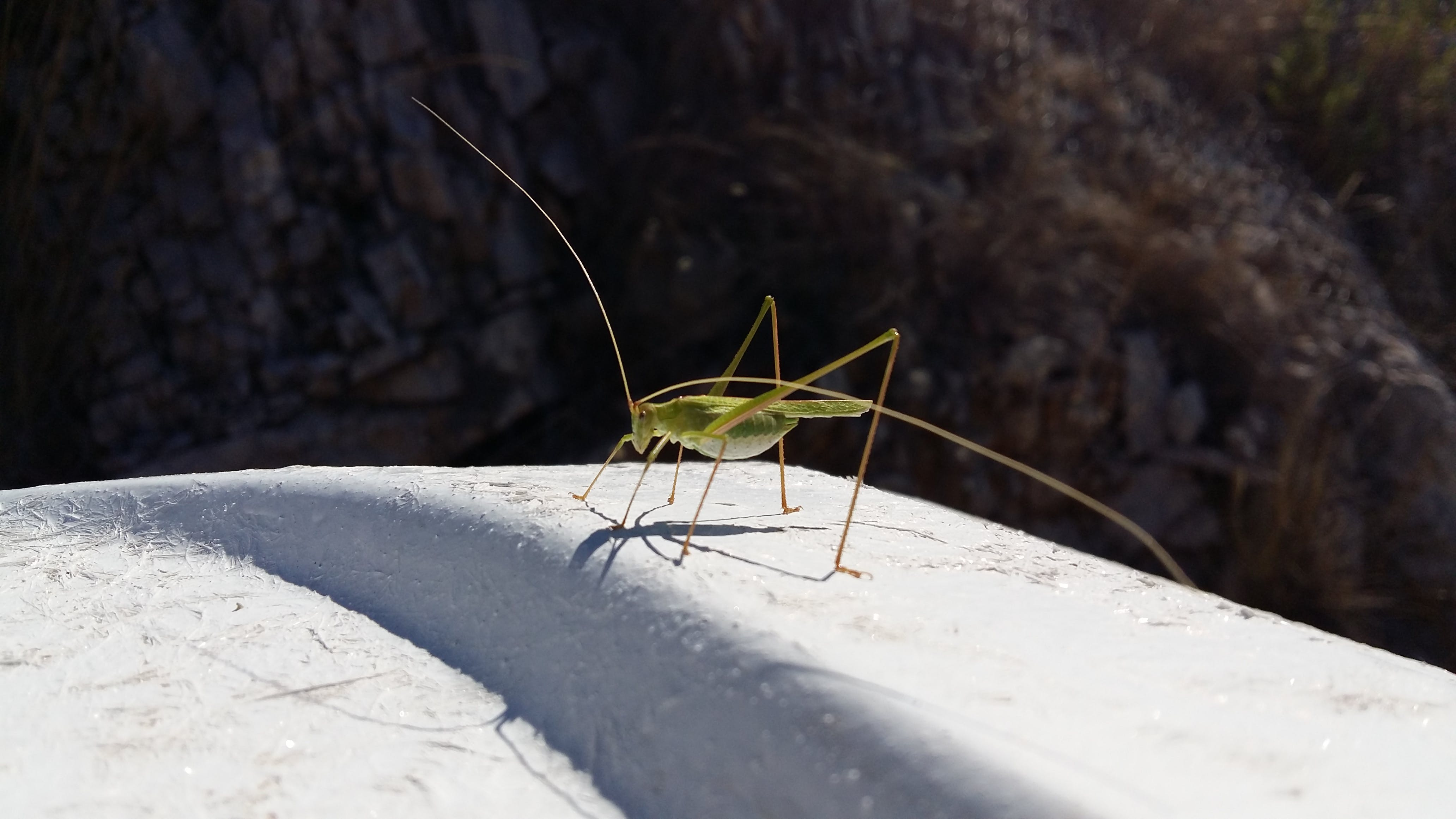 Free stock photo of grasshopper, insect, nature