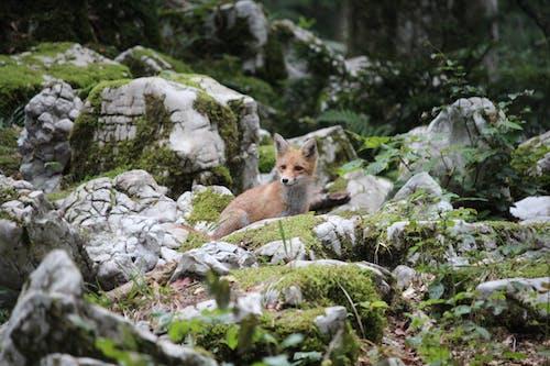 Brown Fox on Green Grass