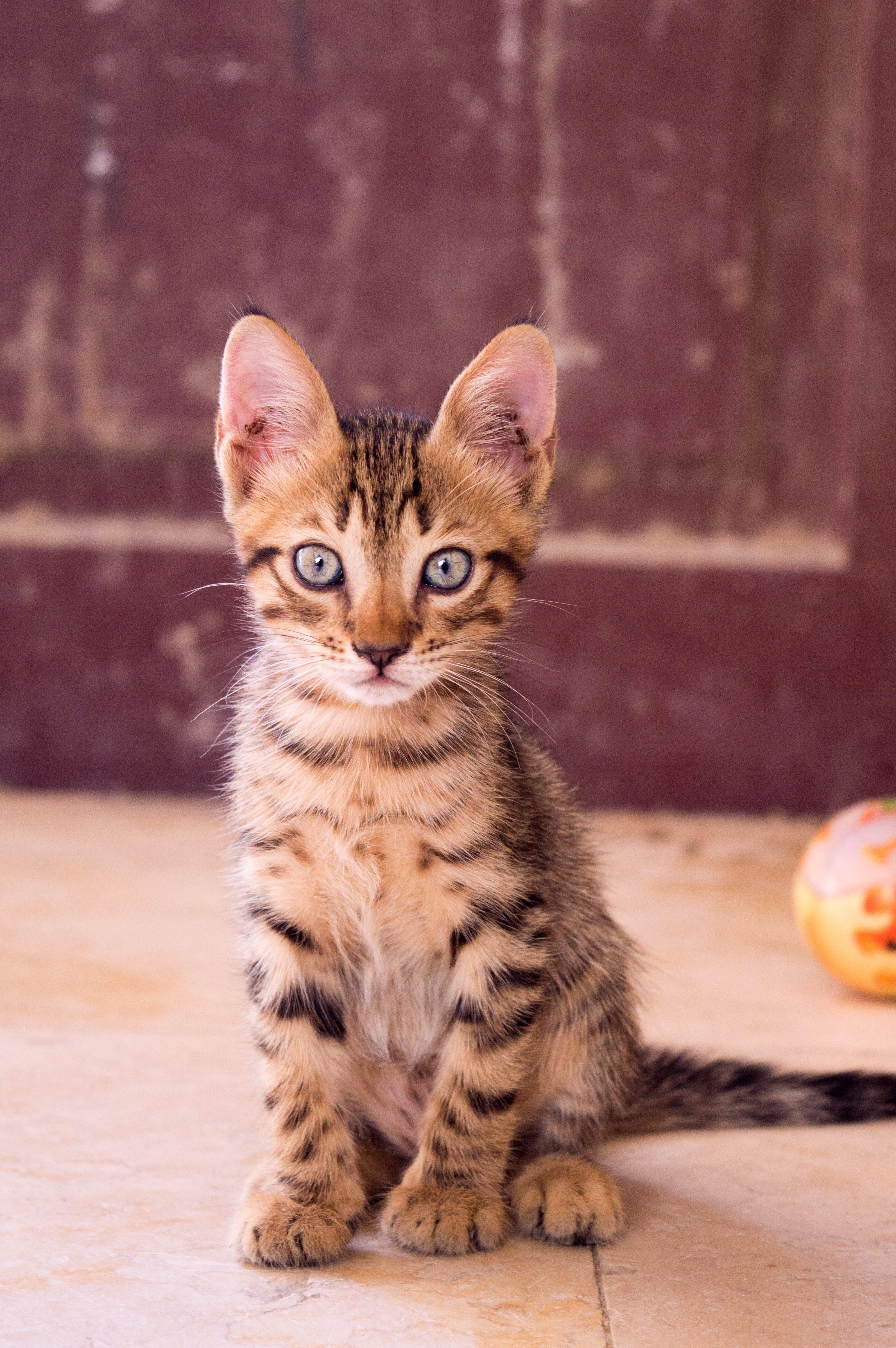 bakmak, çok sevimli, ev kedisi, evcil içeren Ücretsiz stok fotoğraf