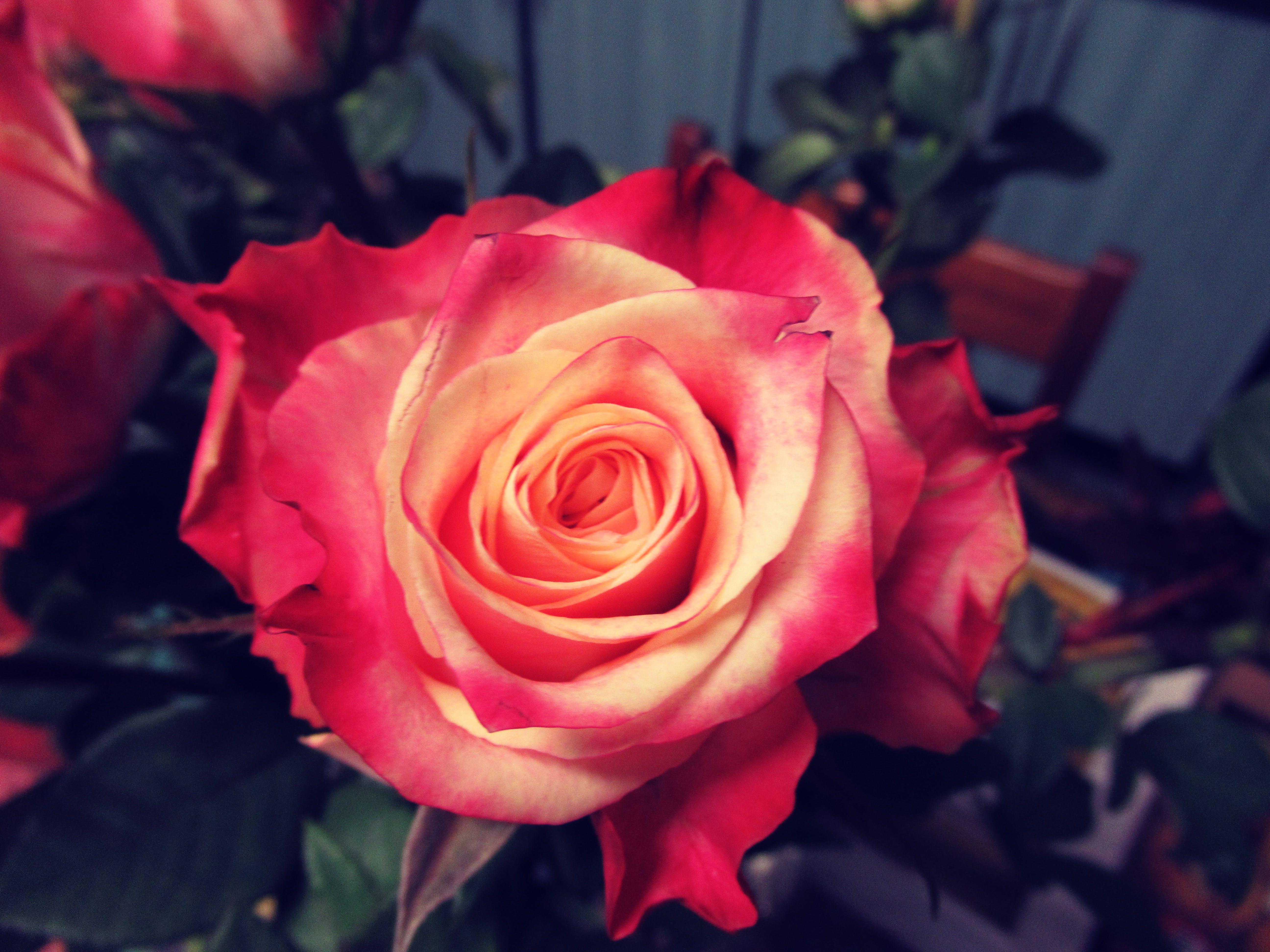 Základová fotografie zdarma na téma červená, flóra, krásný, květ