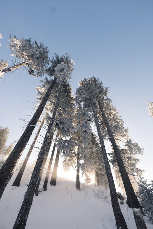 Free stock photo of sky, snow, trees