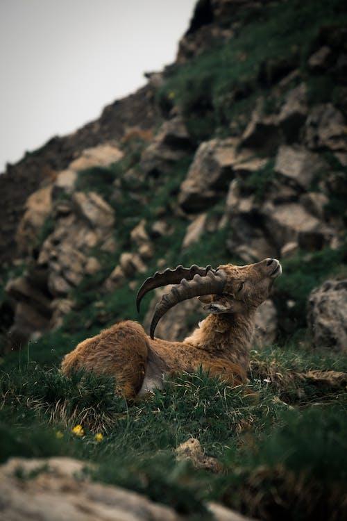 An Alpine Ibex Sitting on Grass