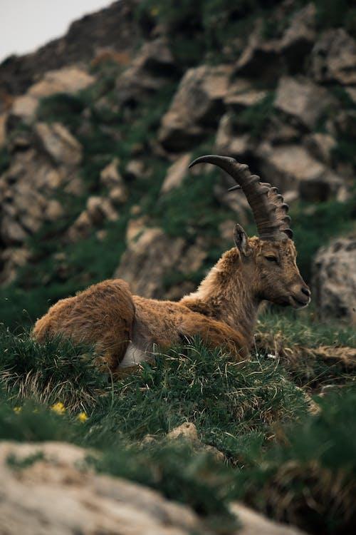 Brown Ram on Green Grass