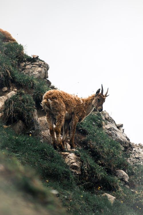 An Alpine Ibex on the Shrubland