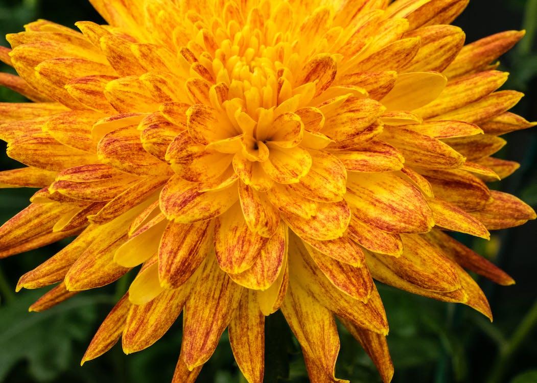 Free stock photo of chrysanthemum, flowers, garden