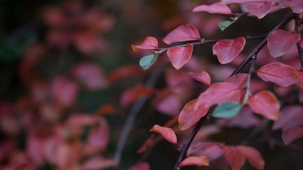 Red Leaf Plant
