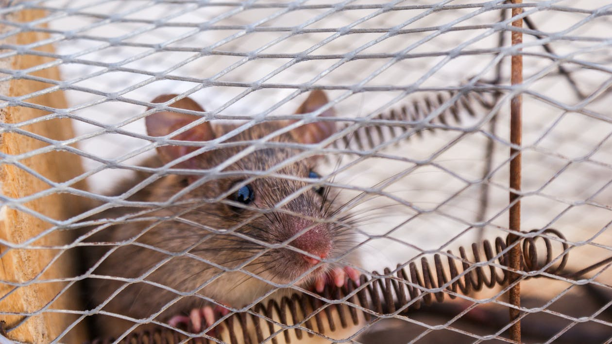 Close-Up Photo of a Rat Trapped Inside the Cage