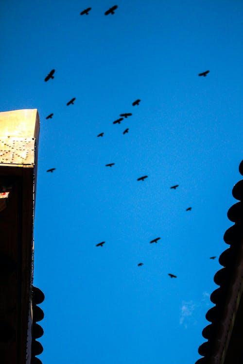 Kostnadsfri bild av fåglar som flyger, Kina, rensa blå himmel