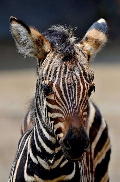 Close-Up Phot of a Zebra