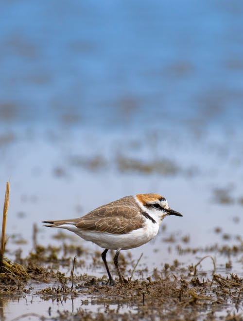 Wild Kentish plover with black beak and brown wings standing on wet shore near calm water on blurred background in nature