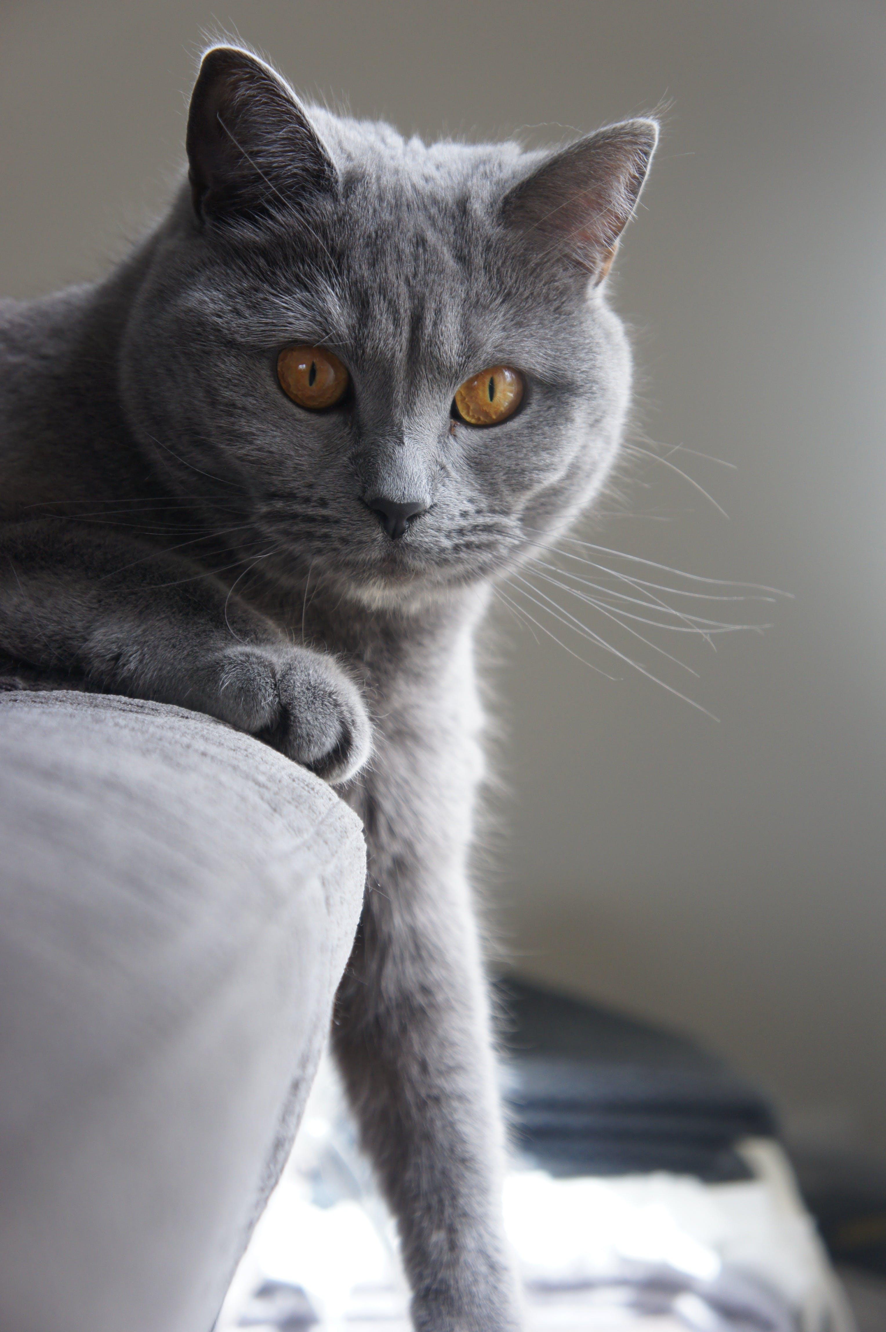 Fotos de stock gratuitas de animal, cara de gato, gato