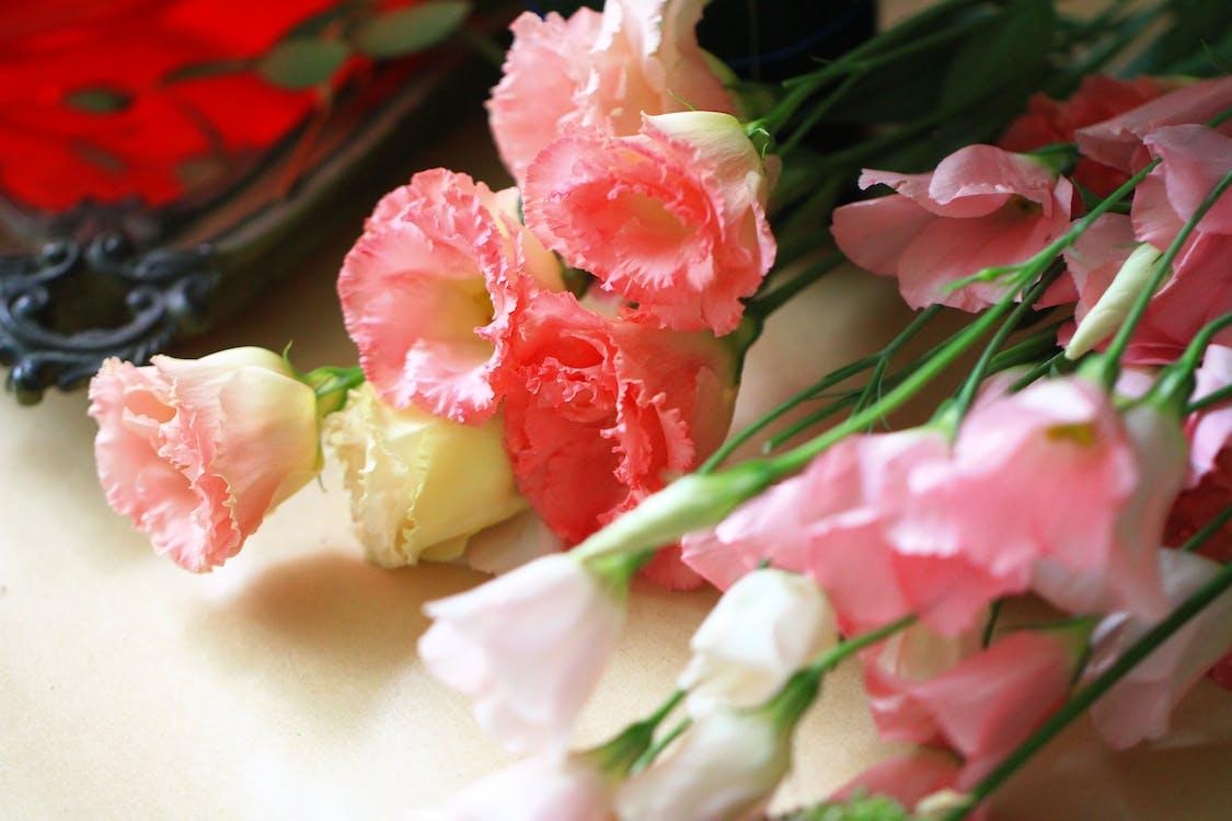Ảnh lưu trữ miễn phí về cẩm chướng, cận cảnh, cắt hoa