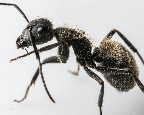 Macro Shot of a Black Ant