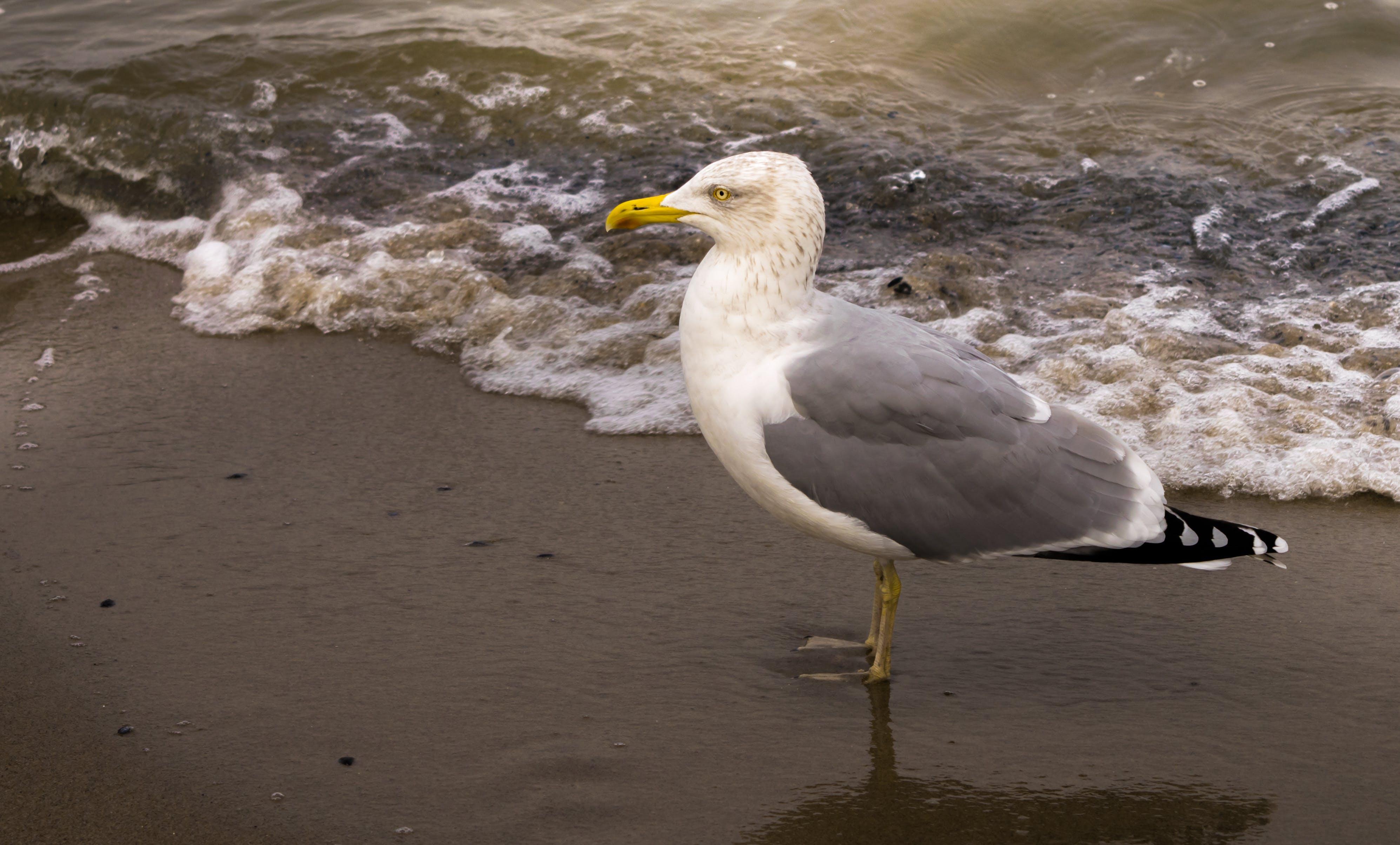 Free stock photo of beach, gull, sand, sea