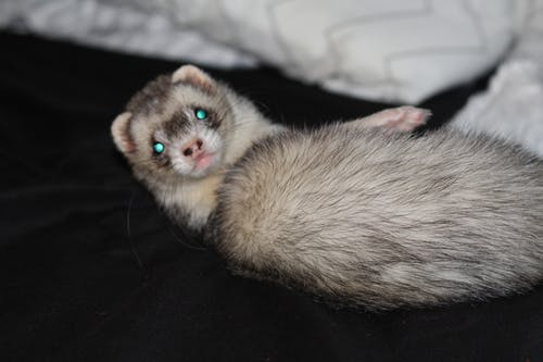 Free stock photo of animal, ferret, pet