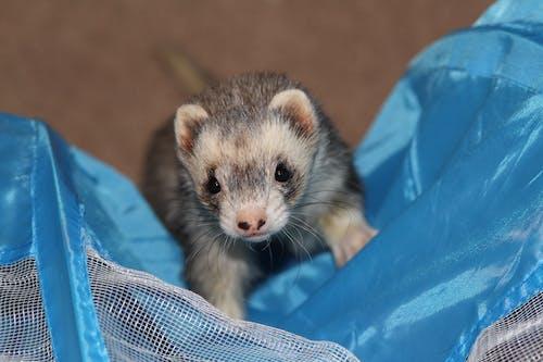 Free stock photo of ferret, pet