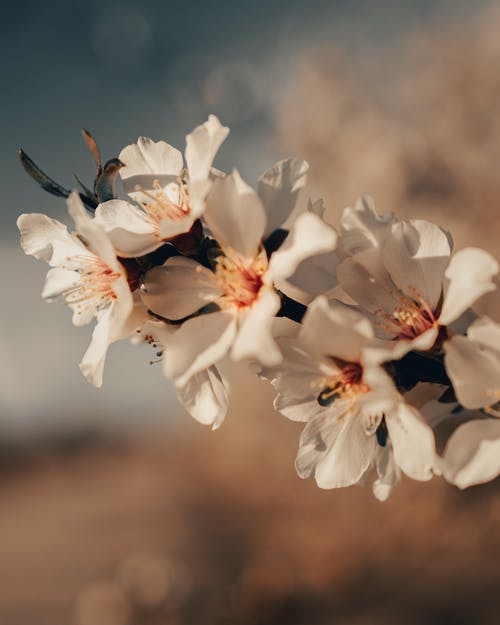 Blossoming fragrant almond tree with delicate white flowers growing in blurred spring garden
