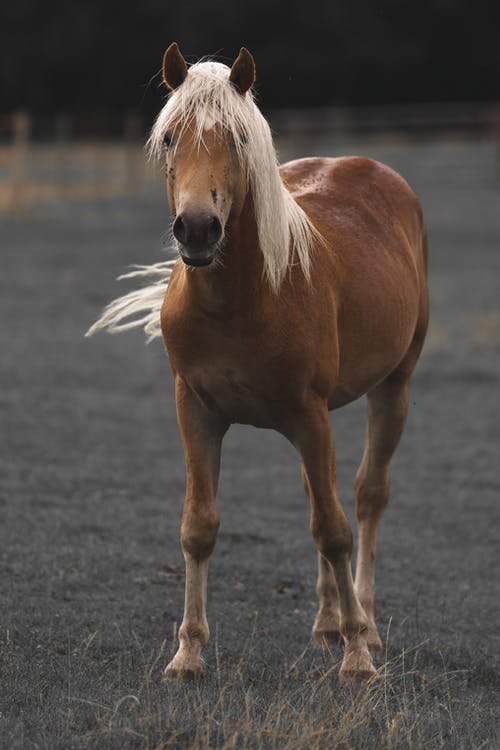 Full body young brown horse standing on vast pasture in farmland and looking at camera