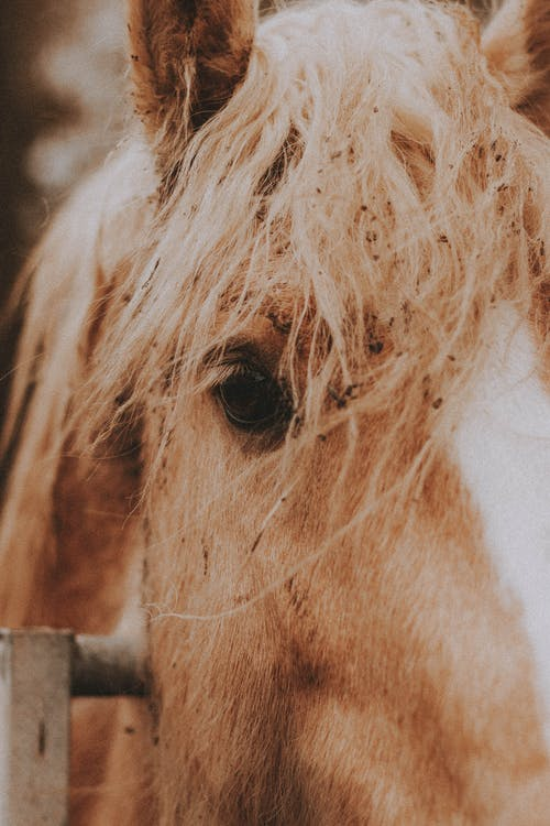 Closeup of muzzle of brown horse standing behind fence in countryside and looking at camera